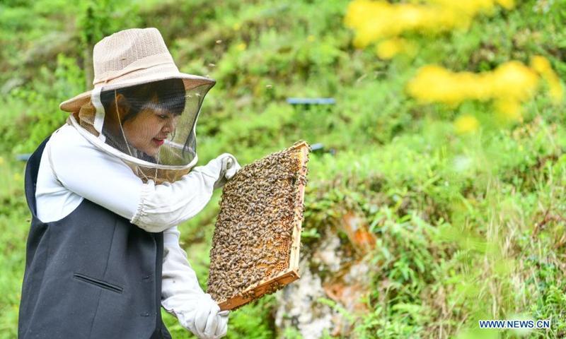Yuan Xiaomei works at her bee breeding base in Nayong County, southwest China's Guizhou Province, April 28, 2021. (Photo: Xinhua)