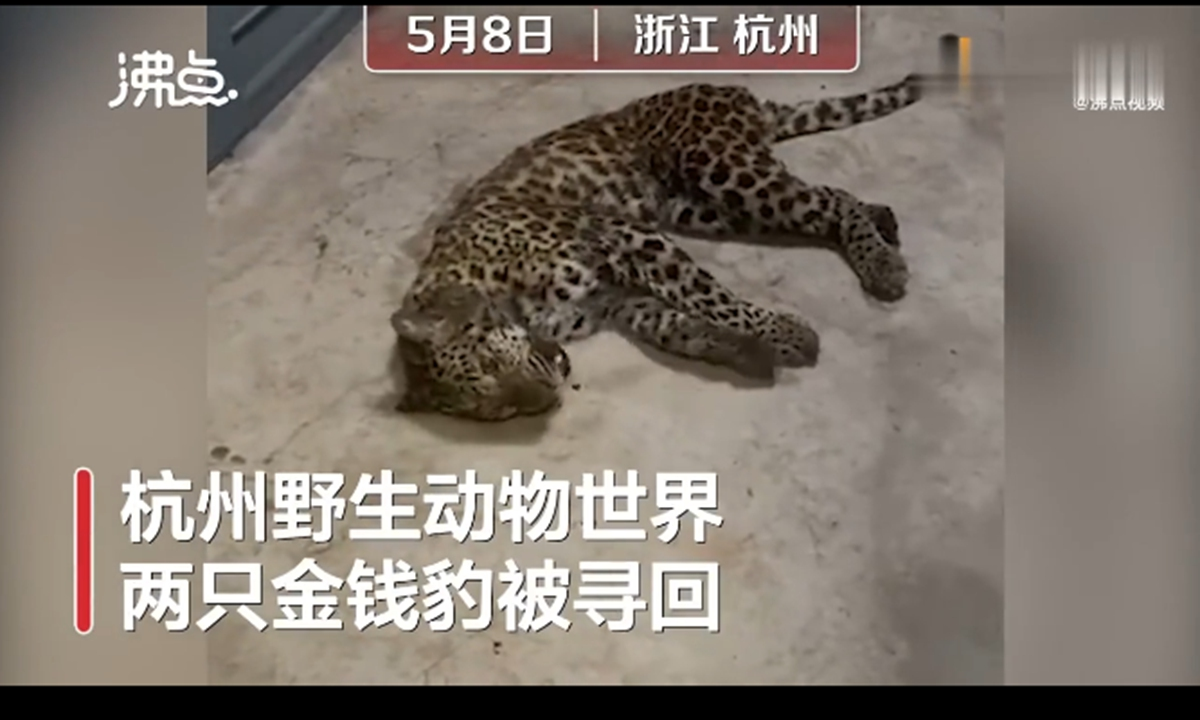 One of the recaptured juvenile leopards. Photo: screenshot of video by yidianzixun.com