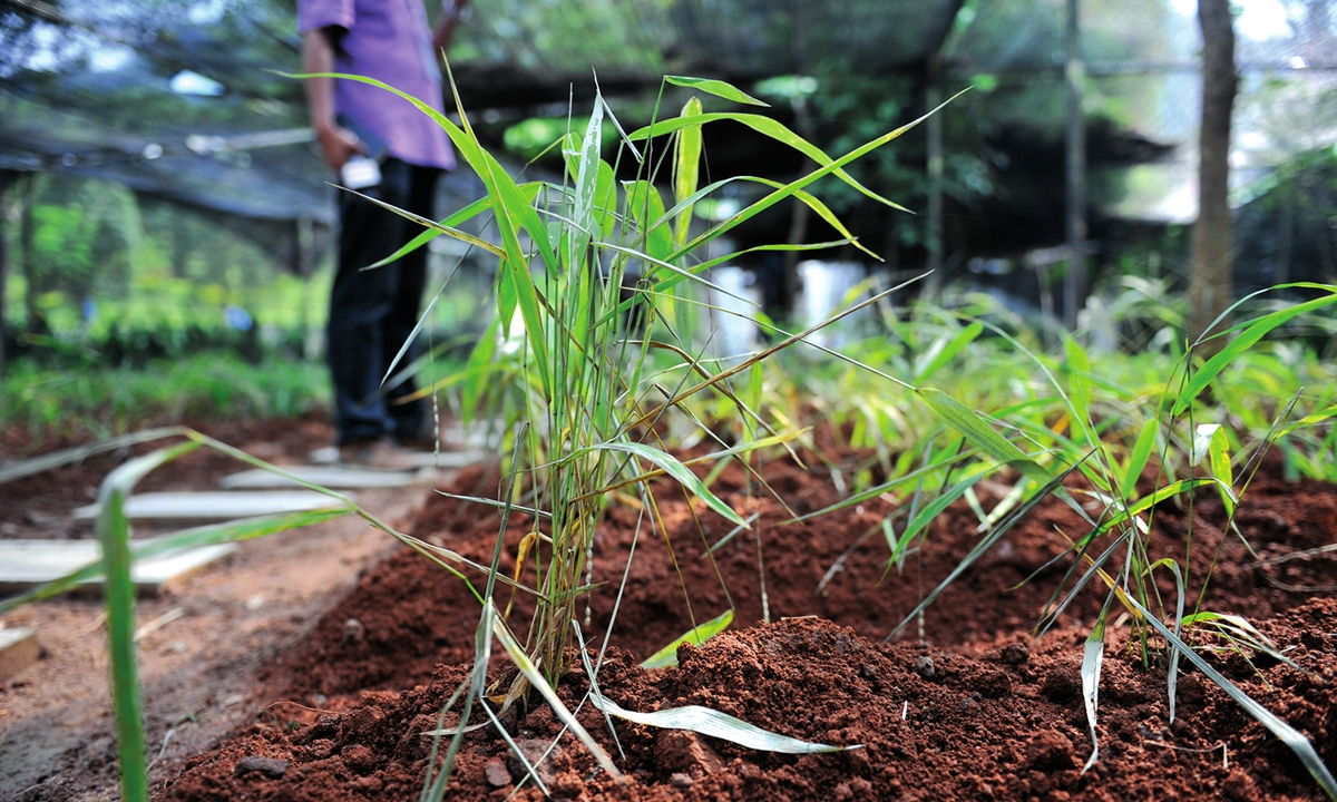 Scientists maintain a kind of endangered wild rice at the rare botanical garden of the Nuozhadu Hydropower Station. Photo: cnsphoto