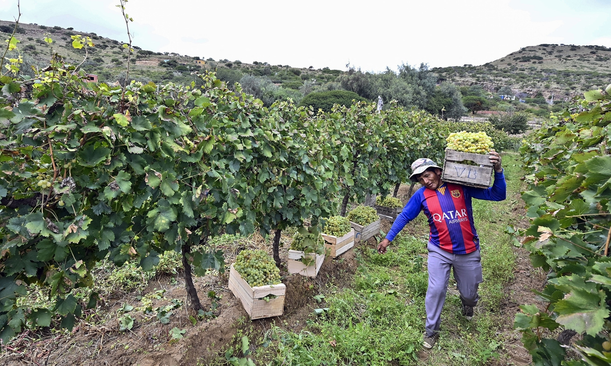 A worker carries a crate with grapes during a harvest at a vineyard in  Bolivia on March 27.  Below: Workers bottle and label Singani (Bolivian brandy) at the Kuhlmann Winery in Bolivia on March 27.  Photos: AFP