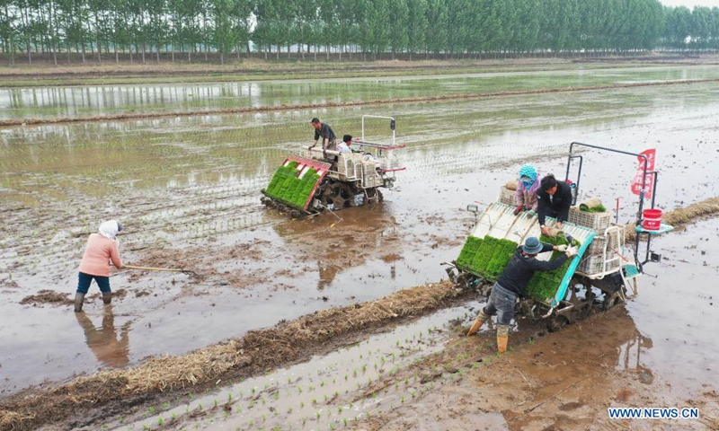 Aerial photo shows farmers planting rice seedlings in the field in Fanggezhuang Town of Luannan County in Tangshan, north China's Hebei Province, May 17, 2021.(Photo: Xinhua)