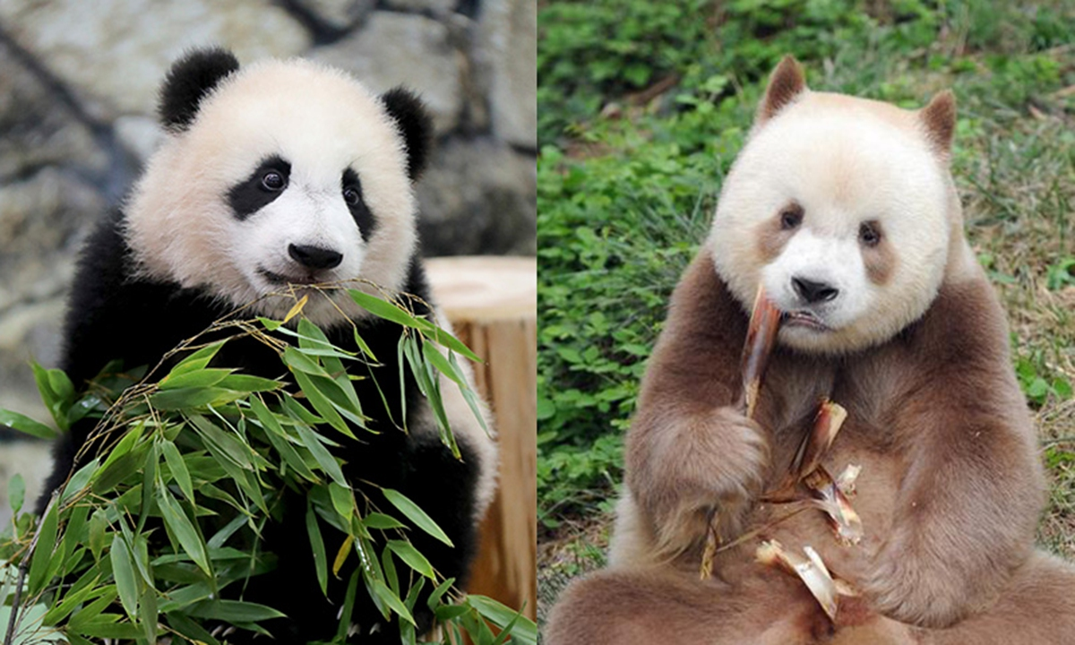 Sichuan panda (left) vs. Shaanxi panda (right). The panda found in NW China's Shaanxi Province looks more like cats with light and dark brown furs, while the more commonly-seen Sichuan pandas are more like bears with black and white furs. Photo: IC & Xinhua News Agency