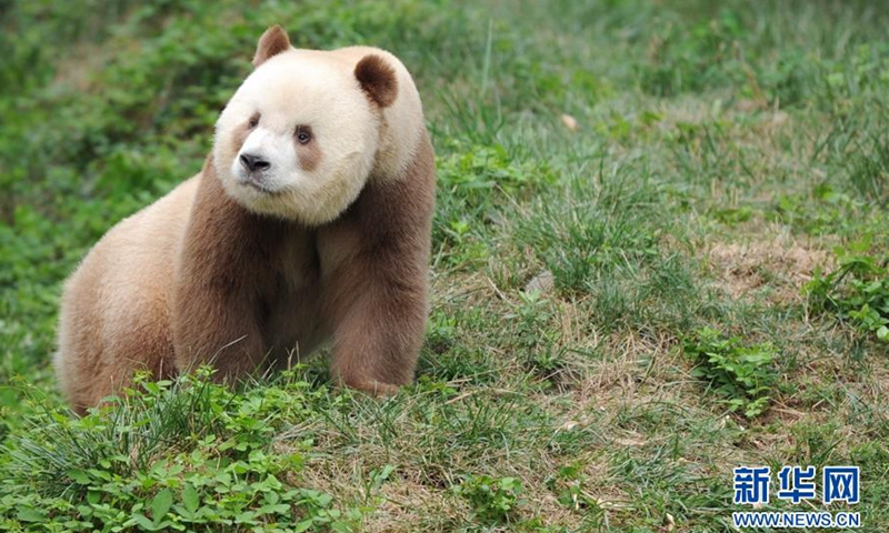 The world's only brown panda bred in captivity, named