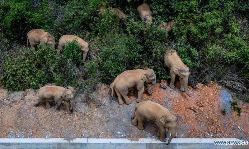 Aerial photo taken on May 28, 2021 shows a herd of wild Asian elephants in Eshan County, Yuxi City, southwest China's Yunnan Province. Authorities are tracking 15 wild Asian elephants in southwest China's Yunnan Province as the herd migrates northward. The elephants are now wandering in the county of Eshan, following a long journey from the province's southmost prefecture starting from April 16.(Photo: Xinhua)