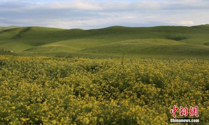 初夏的新疆维吾尔自治区昭苏大草原上,满天星、蒲公英等多种野花竞相绽放。 这片花海吸引了众多来自中国各地的游客。  (图:中新社/李文武)