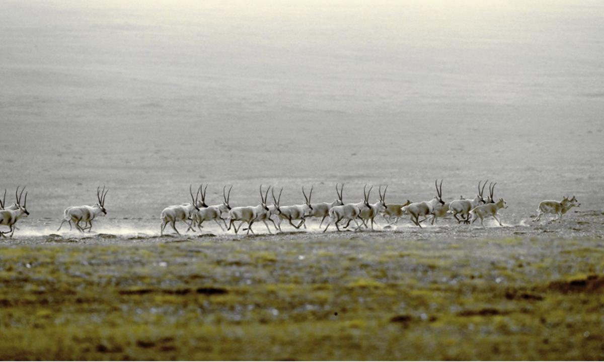 Tibetan antelopes spotted in Qinghai Photo: Courtesy of Ge Yuxiu