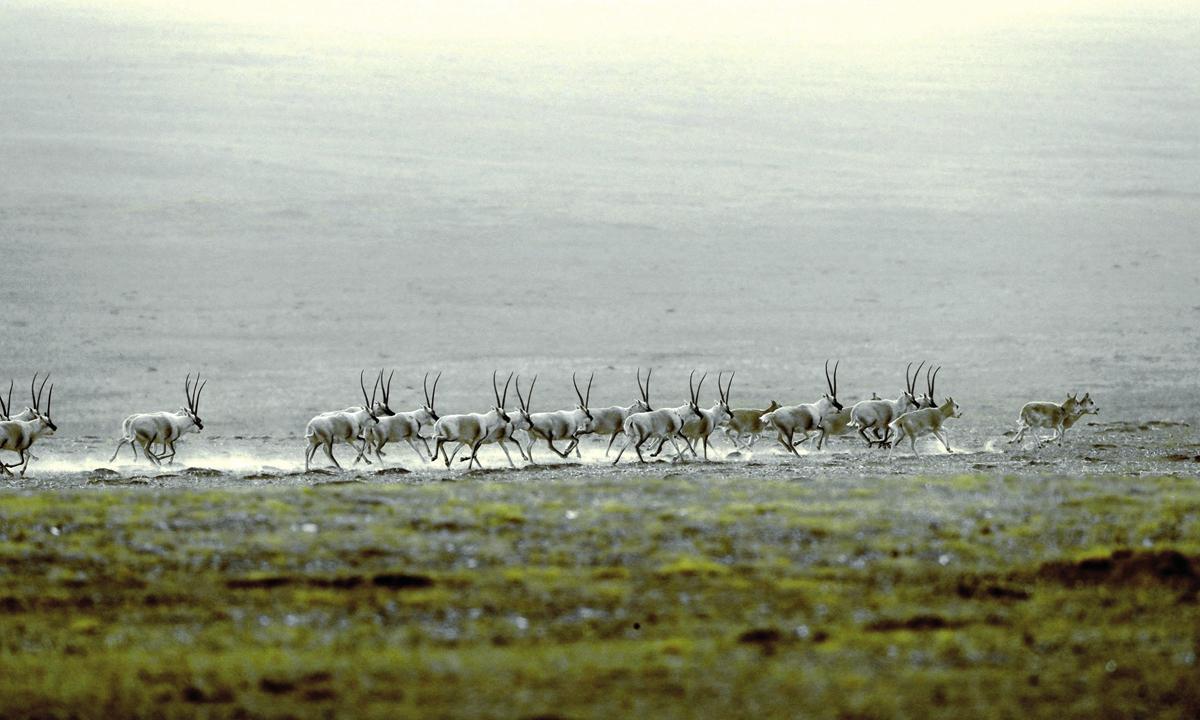 Tibetan antelopes in Northwest China's Qinghai Province  Photo: Courtesy of Ge Yuxiu