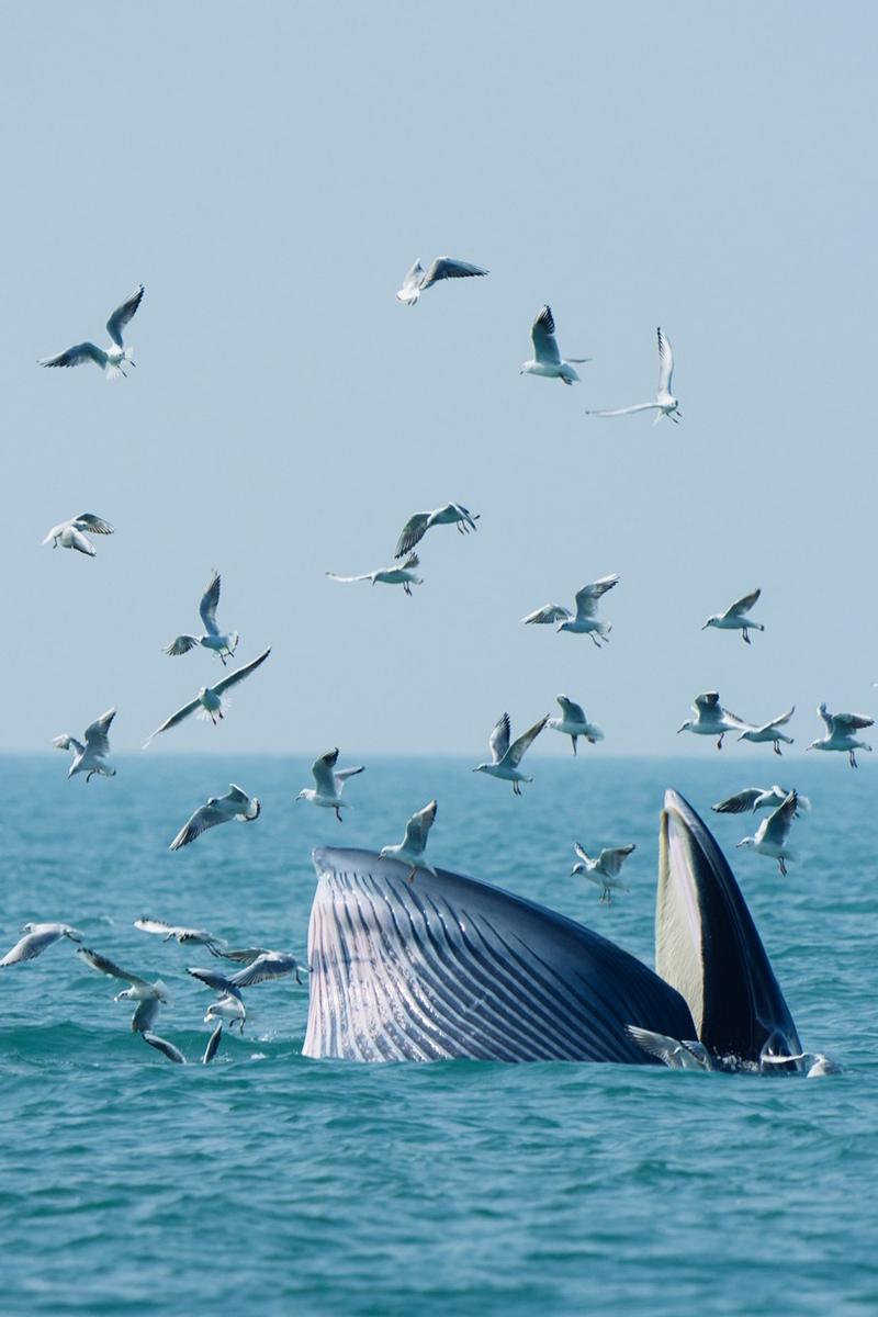 A Bryde's whale forages in waters off Weizhou Island in south China's Guangxi Zhuang Autonomous Region, Jan. 15, 2021. (Xinhua/Liu Jinhai)