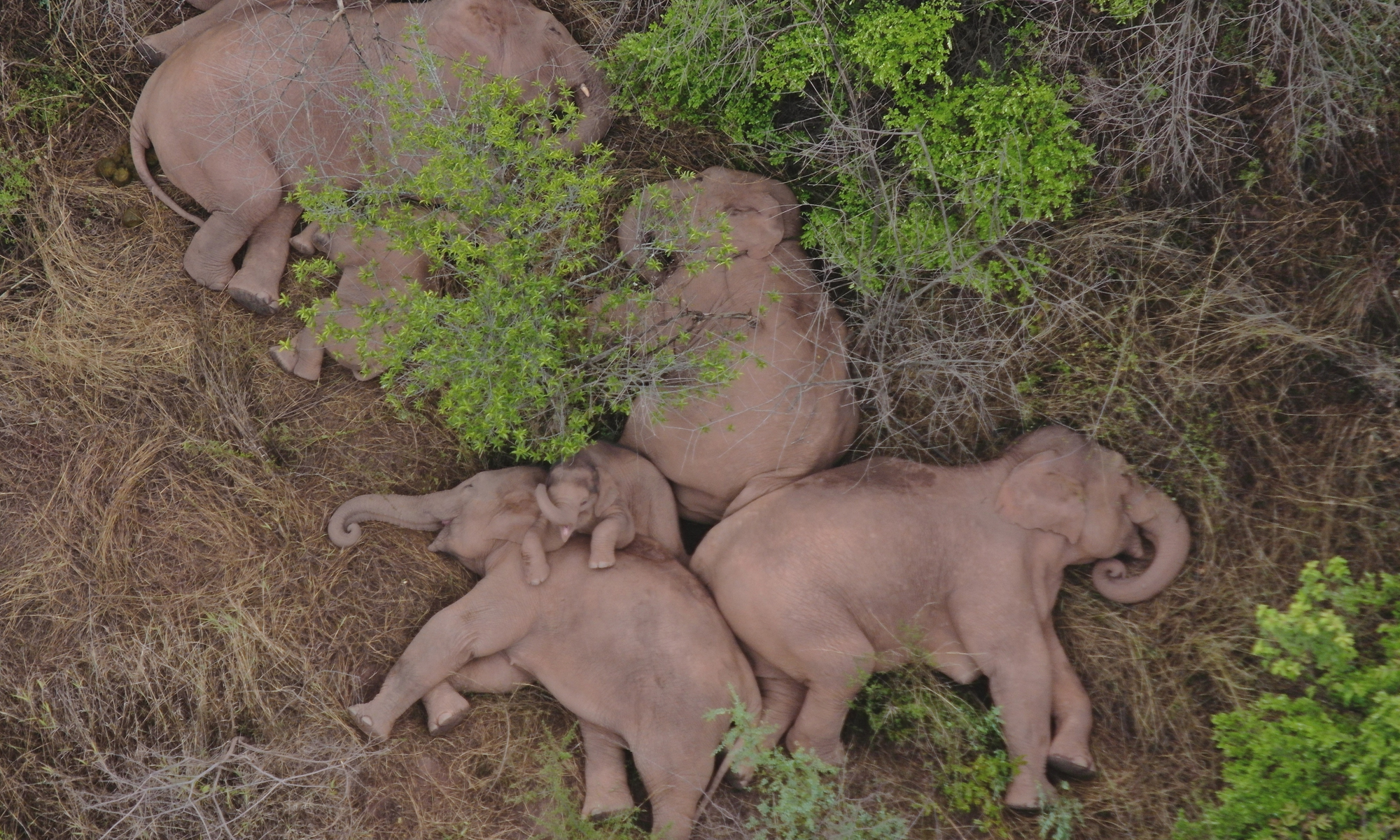 Stray wild elephants take a nap in a forest in Southwest China's Yunnan Province. The herd left its original habitat on April 16 and wandered more than 600 kilometers. Photo: VCG