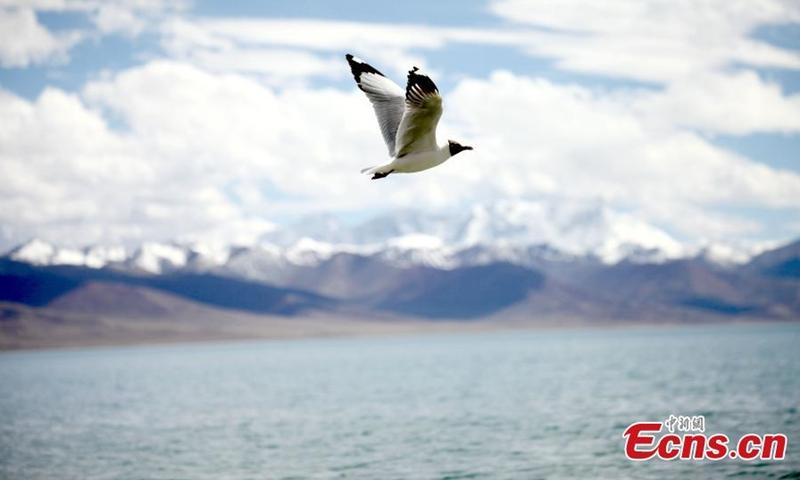 2021年6月2日,一只黑头鸥在西藏纳木措上空翱翔。(图片:中新社/陈晓元)
