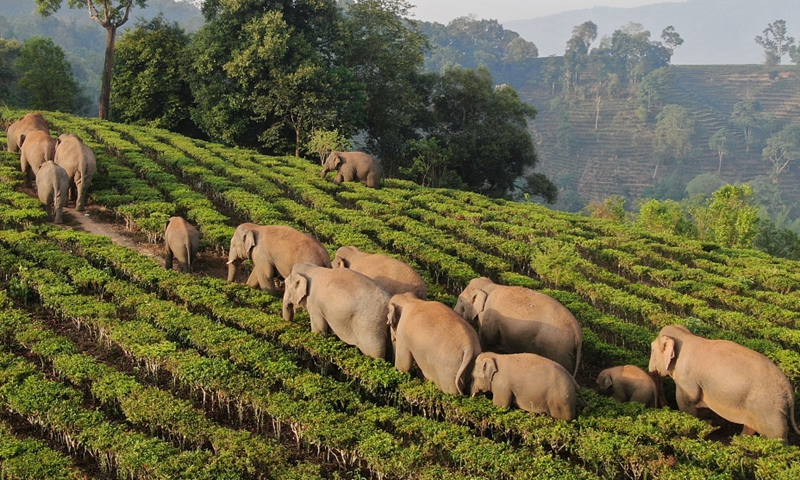 Cute elephant herd! Turning on faucet and drinking water by turns, snoozing in the fields, the migrating parade of wild Asian elephants wandering for 15 months in Southwest China's Yunnan Province has become new internet celebrities.Photo:VCG