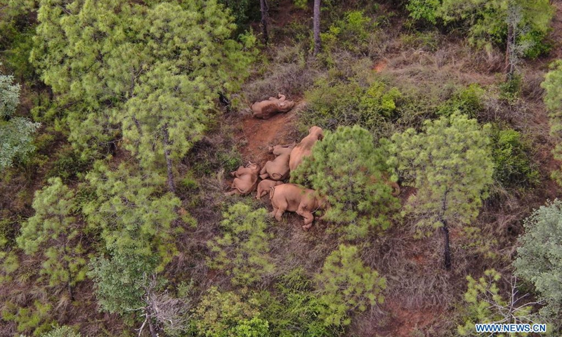 Aerial photo taken on June 14, 2021 shows a herd of wild Asian elephants in Shijie Township of Yimen County, Yuxi City, southwest China's Yunnan Province. China's famous herd of wandering elephants continued to linger in Shijie Township, authorities said. A male elephant that strayed nine days ago was about 17.4 km away from the herd, and all the 15 elephants were safe and sound, according to the headquarters in charge of monitoring their migration.(Photo: Xinhua)