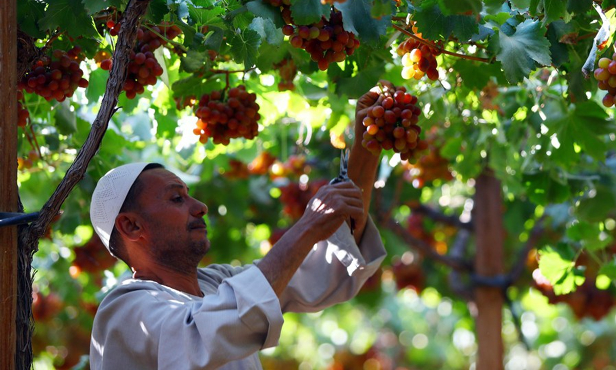 A worker harvests grapes at a grape farm in Sadat City of Menoufia Province, Egypt, June 14, 2021. (Xinhua/Ahmed Gomaa)