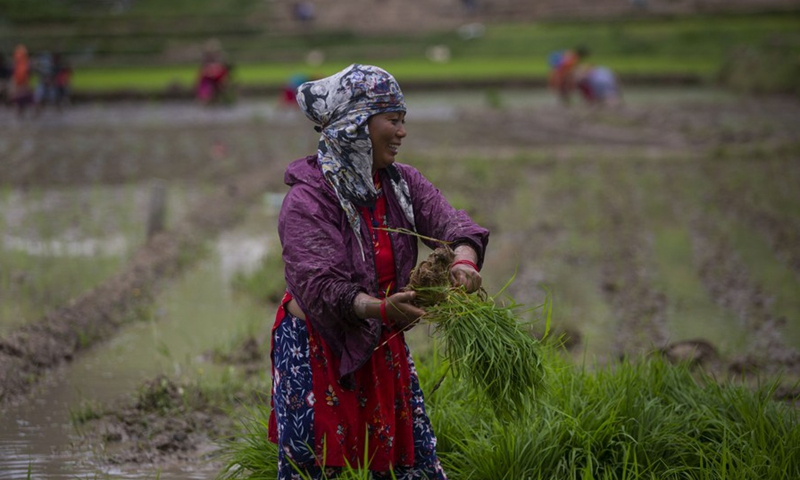 Farmer is seen on a paddy field in Lalitpur, Nepal on June 29, 2021.(Photo: Xinhua)
