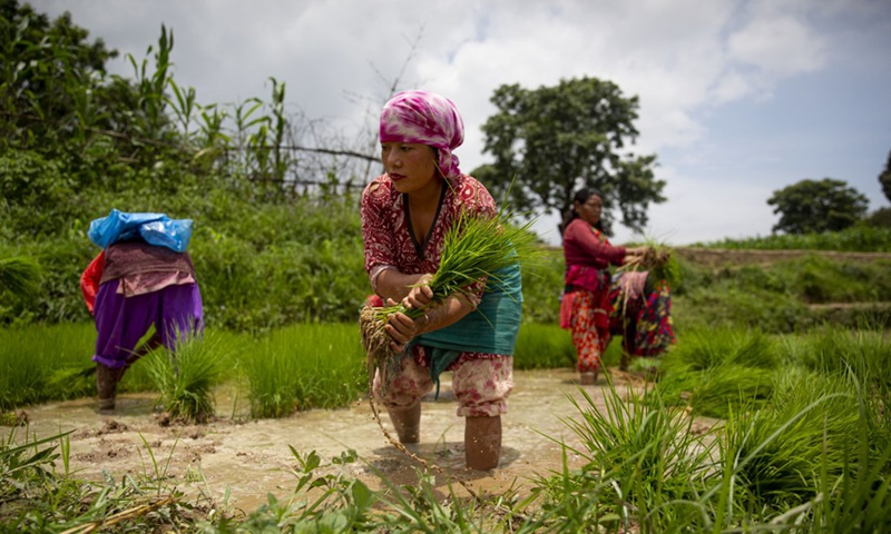 Farmers are seen on a paddy field in Lalitpur, Nepal on June 29, 2021.(Photo: Xinhua)