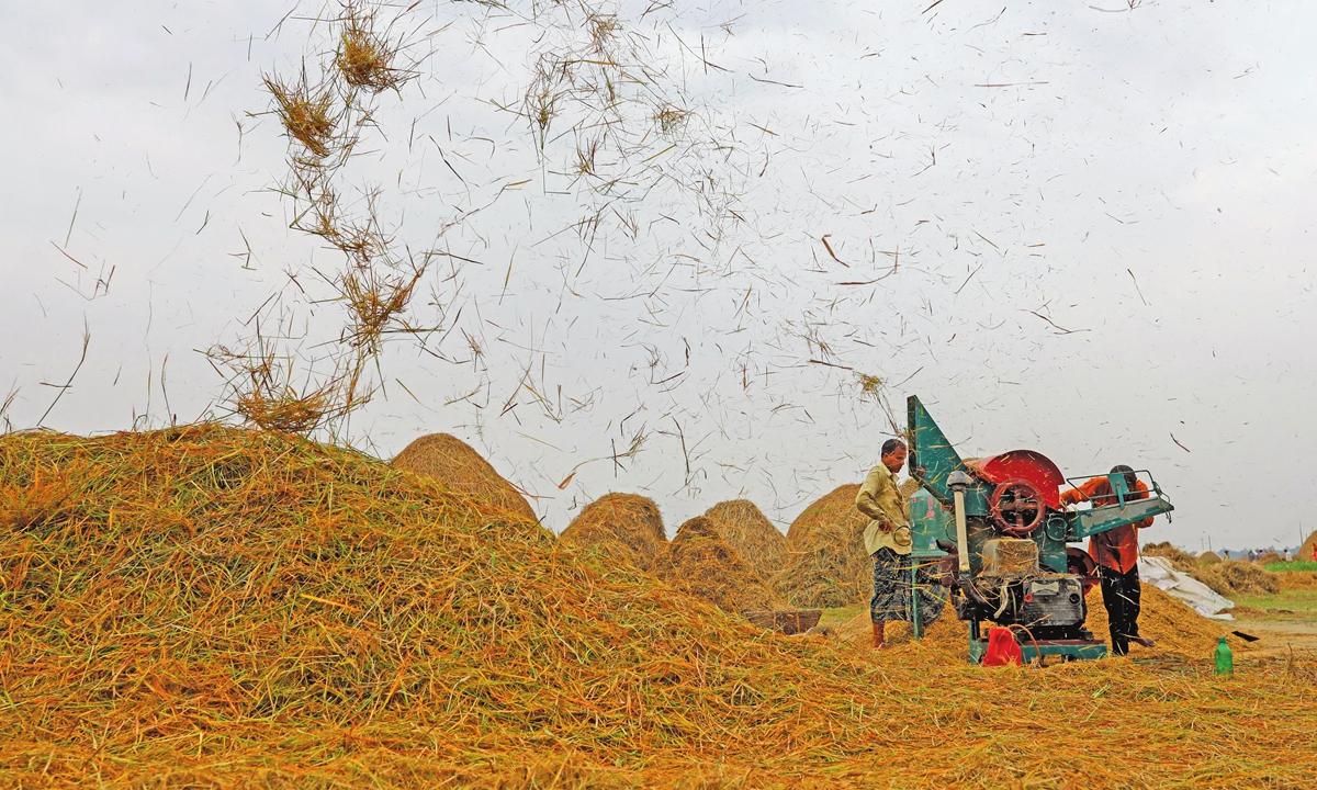 Farmers process paddy rice during harvesting season at Kishoreganj, Bangladesh on May 6, 2021.