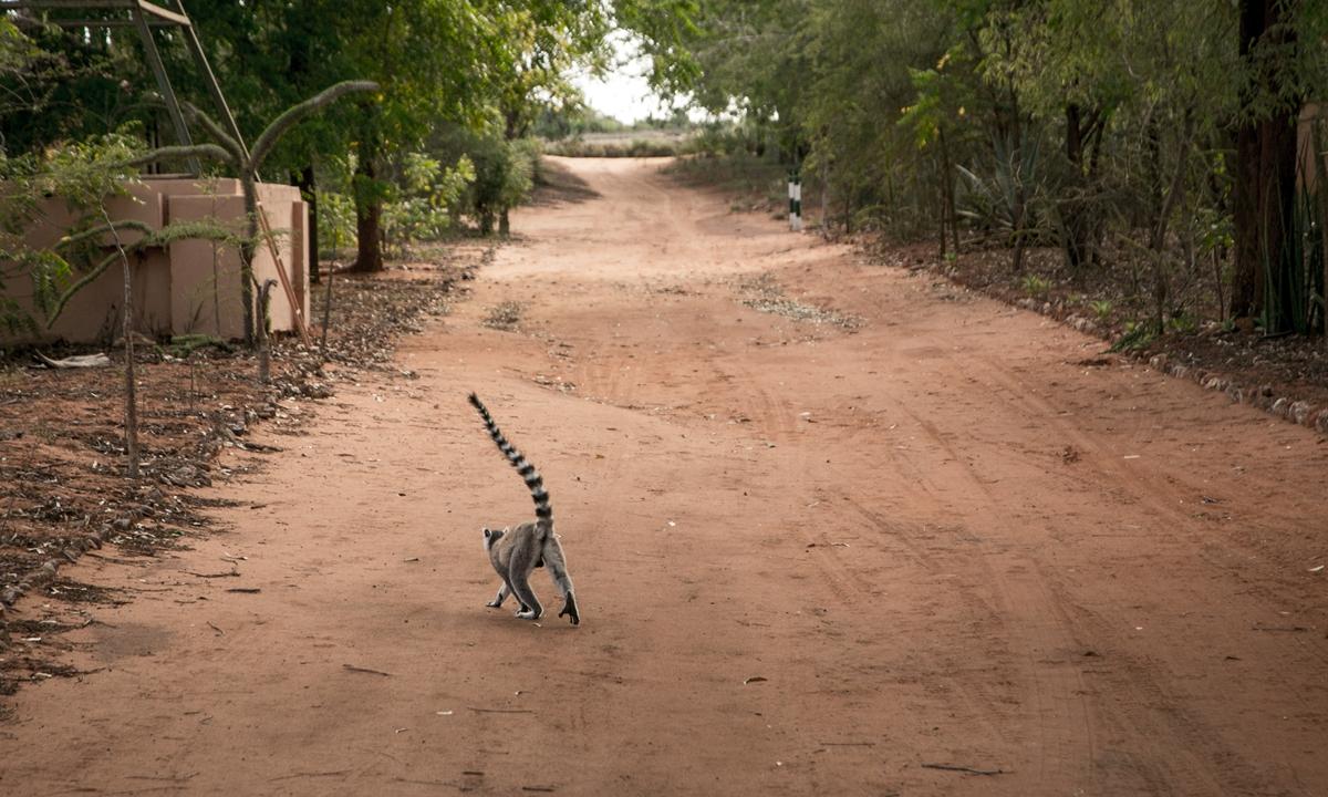 A lemur walks in the Berenty Lodge hotel, Berenty Reserve, southeast Madagascar, on December 14, 2018. Photo: AFP