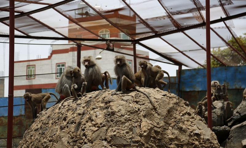 Baboons are seen inside their shelter at the Sanaa Zoo, in Sanaa, Yemen, on July 28, 2021.Photo:Xinhua