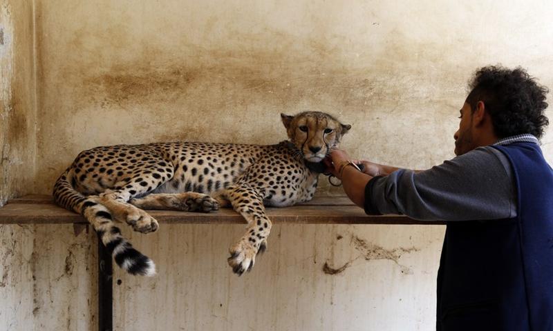 A keeper exams a cheetah at the Sanaa Zoo, in Sanaa, Yemen, on July 28, 2021.Photo:Xinhua