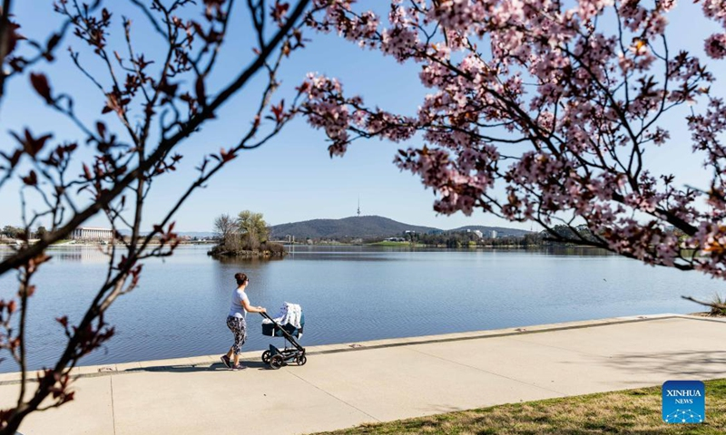 A woman pushes a baby stroller past cherry blossoms by Lake Burley Griffin in Canberra, Australia, on Sept. 2, 2021. Australia reported another record number of 1,477 new cases on Thursday morning as the country continued to battle the third wave of COVID-19 infections. Photo: Xinhua