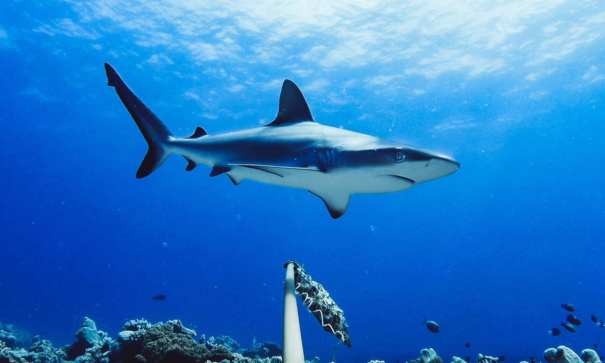 An undated handout photo made available by Global Finprint on July 22, 2020 shows a Grey Reef Shark in Australia. An unprecedented survey of coral reefs worldwide has revealed a shocking decline in the numbers of sharks. Photo:VCG