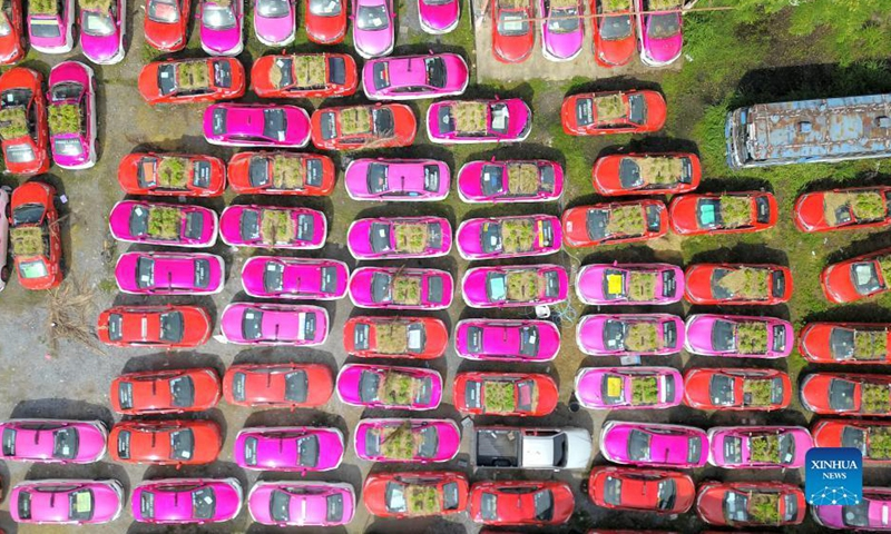 Photo taken on Sept. 24, 2021 shows taxis used to grow vegetables in a parking lot in Bangkok, Thailand.  In a parking lot on the outskirts of Bangkok, hundreds of taxis were out of order for more than a year due to the COVID-19 epidemic.  Taxi company employees piled dirt on the roof and hood of these cars to grow vegetables and distributed them to employees and unemployed drivers. Photo: Xinhua