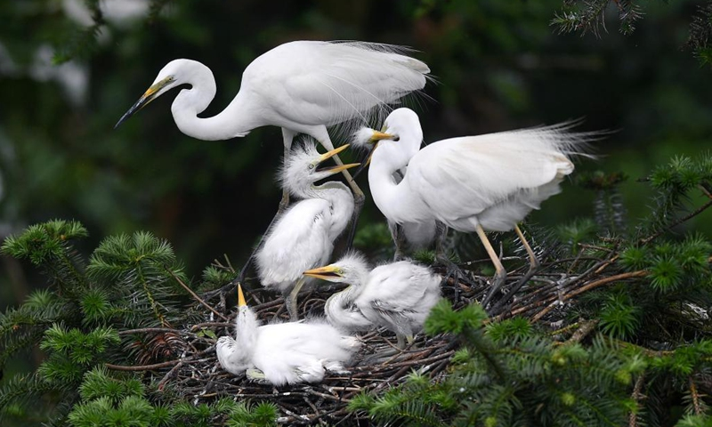 Egrets are seen at the Xiangshan Forest Park in Nanchang, east China's Jiangxi Province, May 18, 2021. Photo: Xinhua