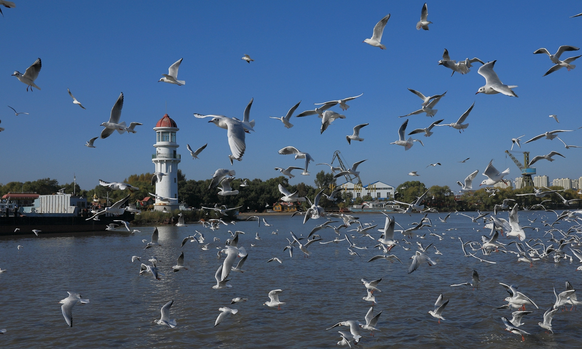 Nearly 10,000 red-billed gulls on their way to migrate stop on the Songhua River in Harbin, NE China's Heilongjiang Province, competing for feeding from citizens and tourists. Photo: IC