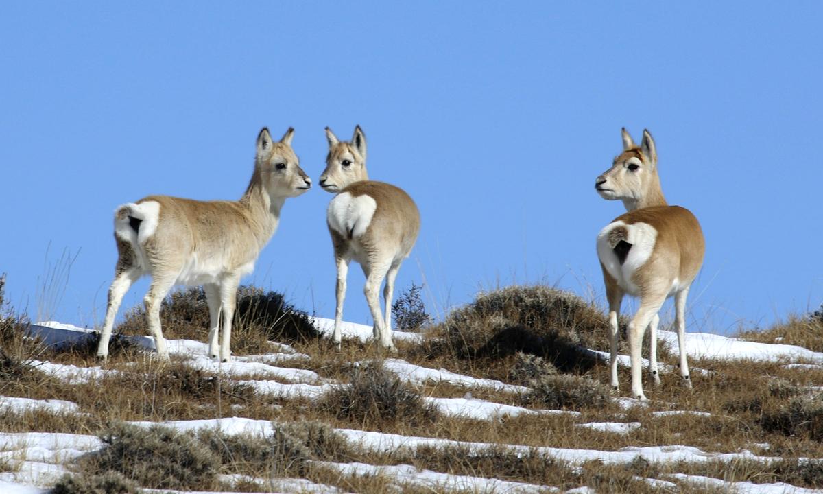 Przewalski's gazelles Photo: Courtesy of Ge Yuxiu